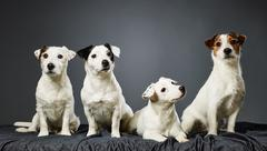 Stock Photo of jack russell terrier family portrait