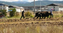 4k tibetan people use strong yak Arable land in shangrila yunnan,china. Stock Footage