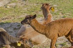 brown baby alpaca - stock photo