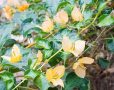 Stock Photo of bougainvillea yellow flower