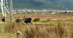 4k tibetan people use strong yak Arable land in shangrila yunnan,china. Stock Footage