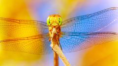 beautiful dragonfly - stock photo
