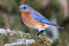 male eastern bluebird in snow - stock photo