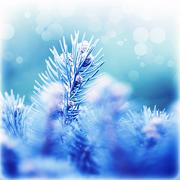 coniferous branches covered rime - stock photo