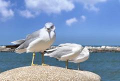 Lake Erie Seagulls NTSC Stock Footage