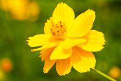 Yellow cosmos flower Stock Photos