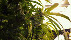 Close Up Marijuana Leaf Hanging from Indoor Plant Stock Footage