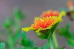 portulaca flowers - stock photo