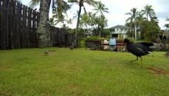 Hawaiian Moorhen on grass lawn Stock Footage