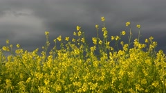 Stock Video Footage of Rape culture with yellow flowers and dark sky 4k