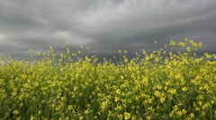 Stock Video Footage of Beautiful nature, light rape flowers and dark sky