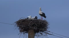 Mother stork with baby storks in the nest  Stock Footage