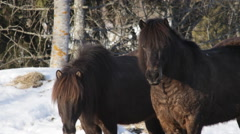 Icelandic horses in March 5 Stock Footage
