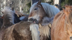Icelandic horses in March 6 Stock Footage
