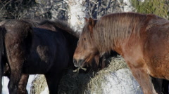 Icelandic horses in March 2 Stock Footage