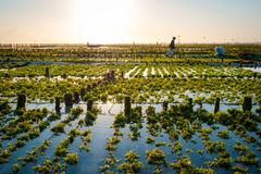 Algae farm field in indonesia Stock Photos