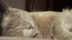 Russian Blue Cat Sleeping In The Sun, Tired Pet, Hand Held Camera Stock Footage