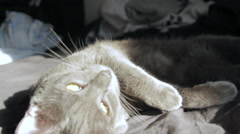 Beautiful Russian Blue Cat Falling Asleep In The Sun, Tired Pet Hand Held Camera Stock Footage