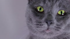 Beautiful Green Eyes Of A Russian Blue Cat, Slow Motion Stock Footage