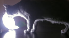 Stock Video Footage of Curious Russian Blue Cat Sniffing A Lamp, Camera Shy Pet, Beautiful Feline