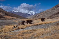 yaks in tajikistan - stock photo