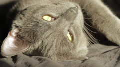 Russian Blue Cat Looking At The Camera, Above Shot, Hand Held Camera Stock Footage