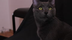 Russian Blue Cat Looking At Something, Beautiful Pet, Hand Held Camera Stock Footage