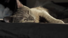 Beautiful Russian Blue Cat Falling Asleep In The Sun, Hand Held Camera Stock Footage
