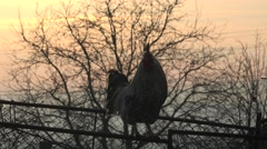 ULTRA HD 4K Male chicken perched yard rural farm sunset domestic bird protect  Stock Footage