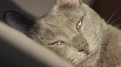 Beautiful Russian Blue Cat Falling Asleep In The Sun, Dutch Angle, Hand Held  Stock Footage