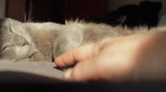 Sound Asleep Russian Blue Cat, Woman's Hand Playing With It's Paw, Feline Asleep Stock Footage