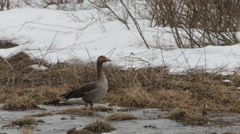 Graylag  goose searching food on a flooded meadow Stock Footage