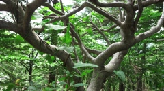 Close Up On Tree Trunk And Branches In Forest Most Likely Japanese Maple 4K Stock Footage