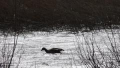 Graylag  goose on mushy ice 1 Stock Footage