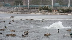 Wild ducks come down on water in Mezhyhirya in January 2015 Stock Footage
