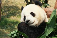 Panda eating bamboo Stock Photos