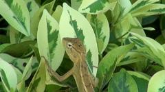 Jumpy Lizard Stock Footage