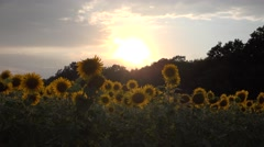 4K Sunflowers Field in Sunset, Agriculture Harvest, Culture Cereals, Crops Field Stock Footage