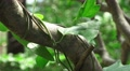 Green Vine With Leaves On Tree Branch In Japanese Forest 4K Footage