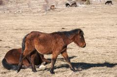 Hinnies on winter meadow - stock photo