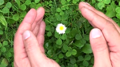 Man hands protecting a isolated daisy flower  Stock Footage