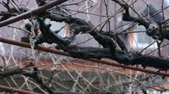 Grapevine - Vine - At Winter Stock Footage
