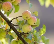 Ripe apples on the tree in nature Stock Photos