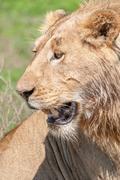 Portrait of a male lion Stock Photos