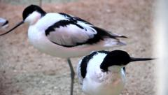 American Avocet Birds Stock Footage