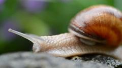 Macro of Burgundy snail - stock footage