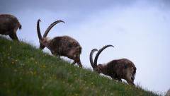 Group of male alpine ibex Stock Footage