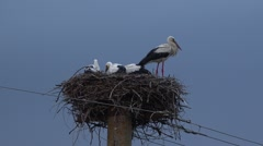 Mother stork guarding baby stork in the nest  Stock Footage