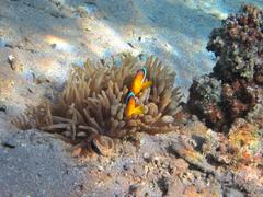 Two anemonefish in hiding - stock photo