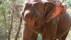 close up of eating Elephant - stock footage